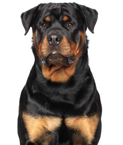 Rottweiler Dog Bite Attack. West Hartford Dog Bite Lawyer.  Farmington, Avon, Simsbury, Glastonbury, South Windsor, Wethersfield, Rocky Hill.